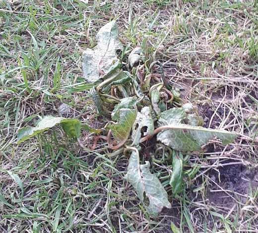 Doc Leaf Weed